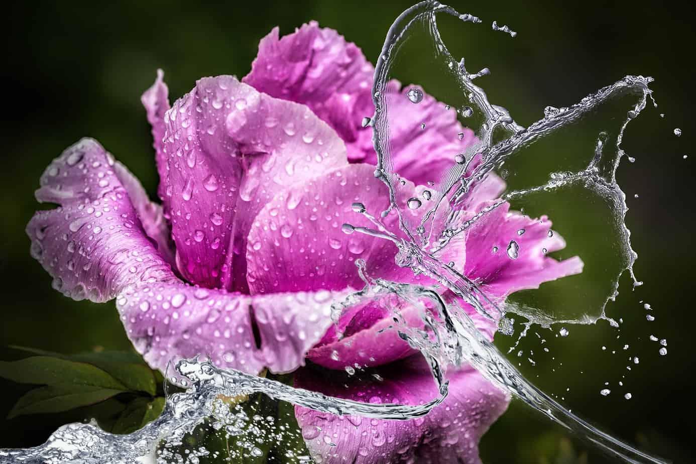 Pfingsten, Rose, Feiertag