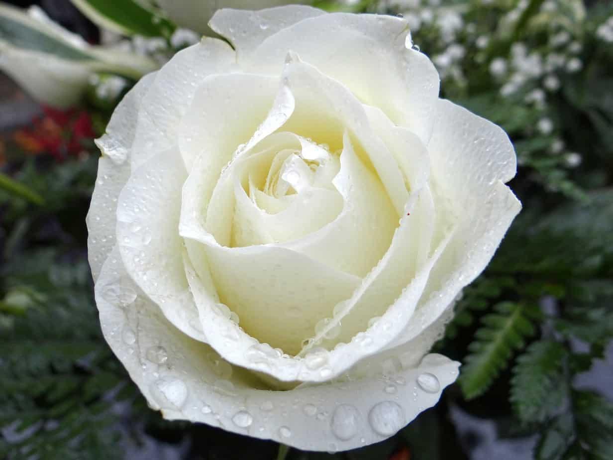 Weiße, Rose, Feiertag, Allerheiligen